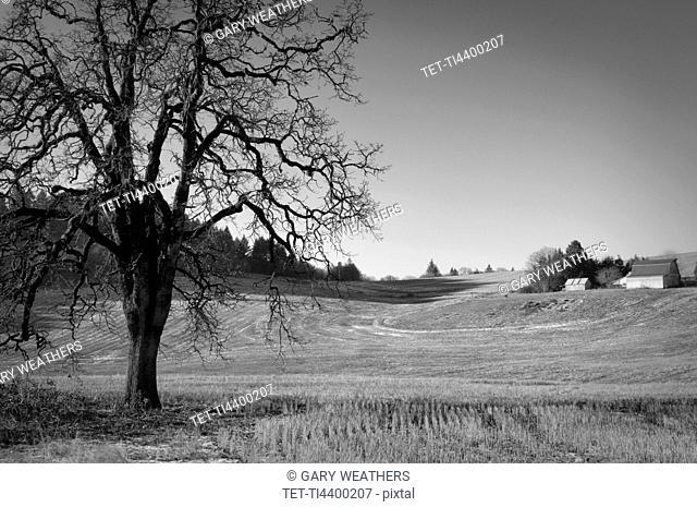 USA, Oregon, Oak and wheat field