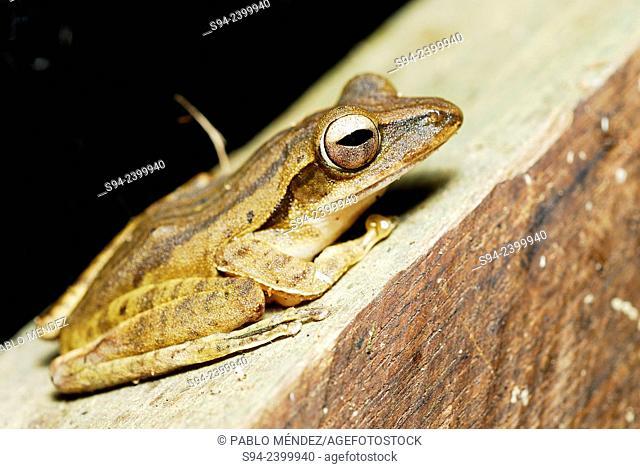 Frog-lined Tree Frog (Polypedates leucomystax) in Kubah national park, Sarawak, Malaysia, Borneo