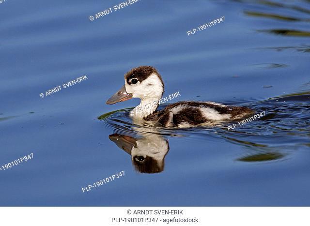 Common shelduck (Tadorna tadorna) duckling / young swimming in lake