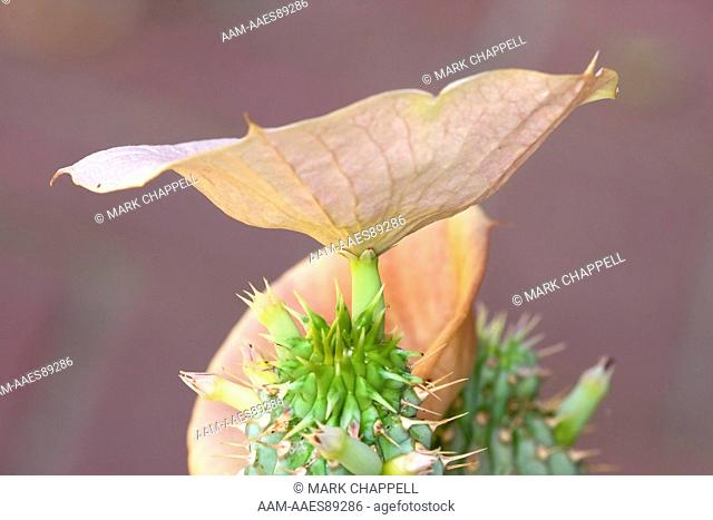 'Hoodia' Euphorbia Blossom (Hoodia currorii), native to southern Africa