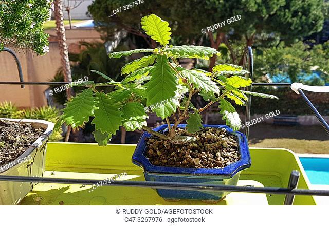 Quercus Suber Bonsai. Cork Oak. The cork oak is an evergreen Mediterranean tree. The tradition of using oaks for bonsai actually originated in California in the...