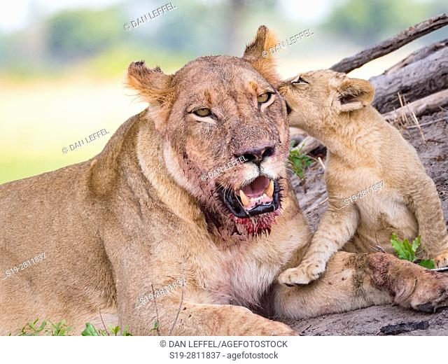 Botswana. Lioness and Baby