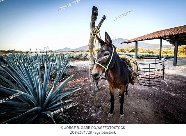 Donkey fot transpor the harvested agave to the production, Tequila, Jalisco