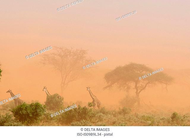 Three Maasai giraffes (Giraffa camelopardalis tippelskirchi), in dust storm, Tsavo, Kenya, Africa