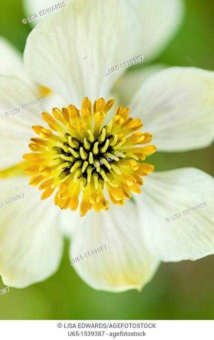 Ranunculaceae, wildflower
