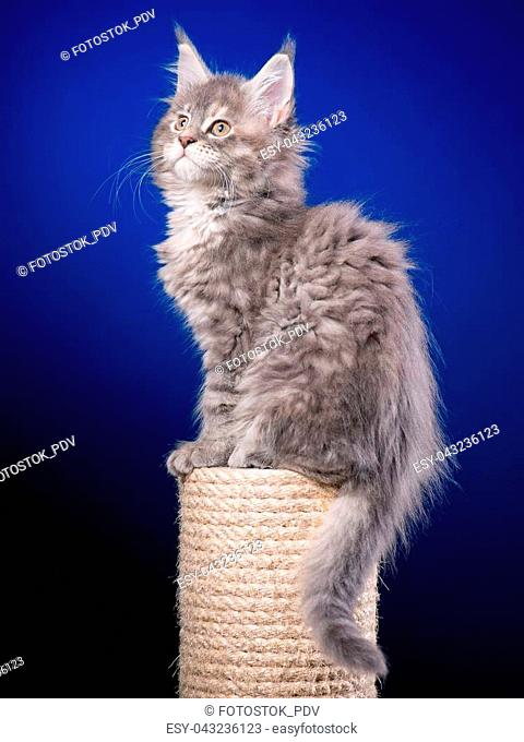 Maine Coon kitten 2 months old sitting on scratching post for cats. Studio photo of beautiful gray domestic kitty on blue background