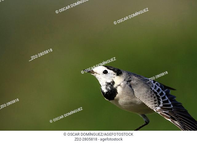 White Wagtail (Motacilla alba) stretching its wings. Albufera Natural Park. Valencian Community. Spain