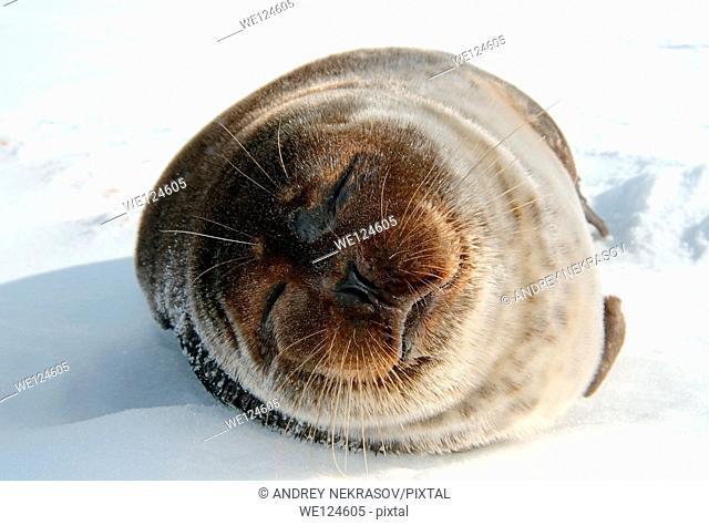 ringed seal (Pusa hispida) Arctic, Russia, Russian north, Kareliya, White sea