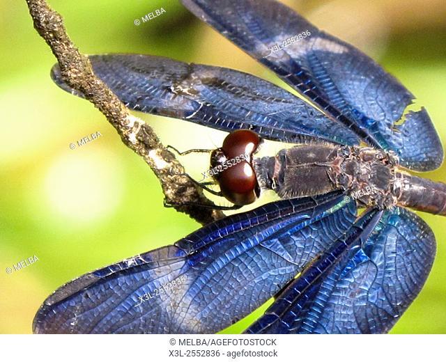 Dragonfly. Matses natural reserve. Amazon, Peru