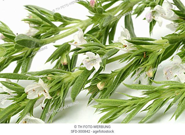 Summer savory with flowers and leaves