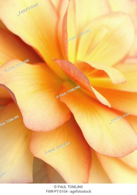 Begonia - variety not identified, Begonia