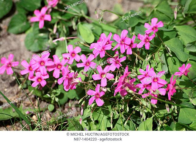 The oxalis articulata is a perennial creeping bass often of the family Oxalidaceae The flowers are umbellate Issue pink