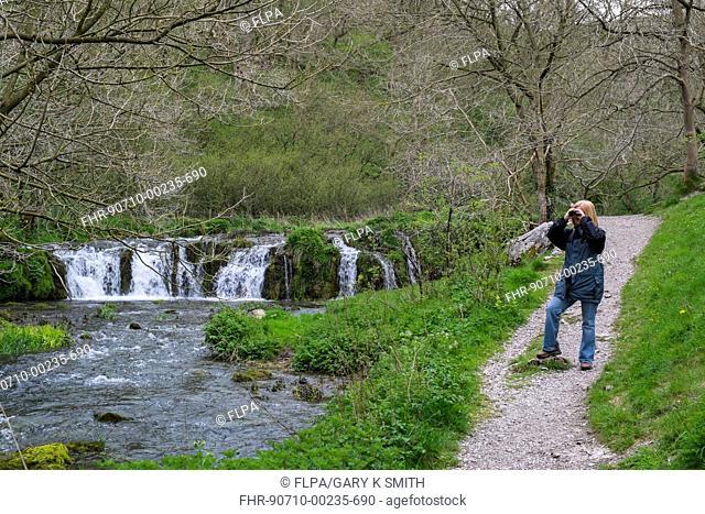 Birdwatcher with binoculars, standing on path beside river and waterfall, Tufa Dam, River Lathkill, Lathkill Dale, Peak District N.P