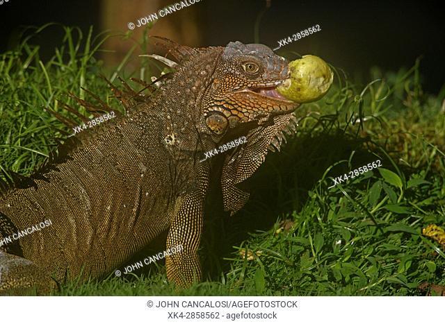 Green iguana (Iguana iguana), also known as common iguana, Costa Rica