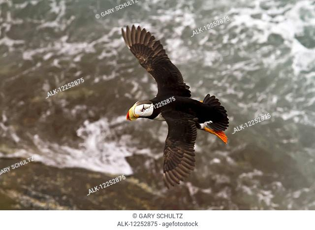 Horned puffin (Fratercula corniculata) in flight over the water, Walrus Islands State Game Sanctuary, Round Island, Bristol Bay, Southwestern Alaska