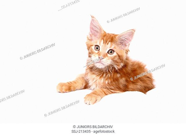 American Longhair, Maine Coon. Kitten lying. Studio picture against a white background. Germany