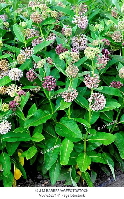 Common milkweed or silkweed (Asclepias syriaca) ia a perennial herb (geophyte) native to Canada and northern USA. The latex are toxic (glycosides) for mammals