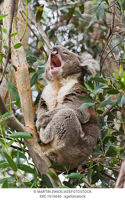 The Koala Phascolarctos cinereus is an iconic symbol for the wildlife of Australia. Australia, South Australia