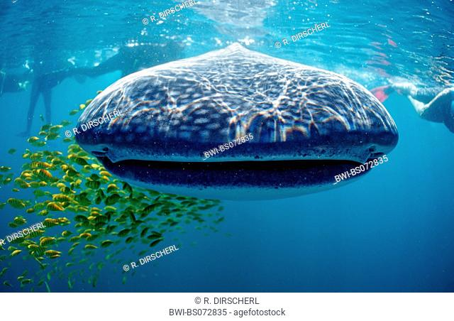 whale shark (Rhincodon typus), front view, largest fish of the world, USA, Haiwaii, Pazifik