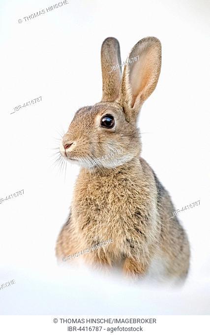Wild rabbit (Oryctolagus cuniculus) in the beach dunes, Mecklenburg-Vorpommern, Germany