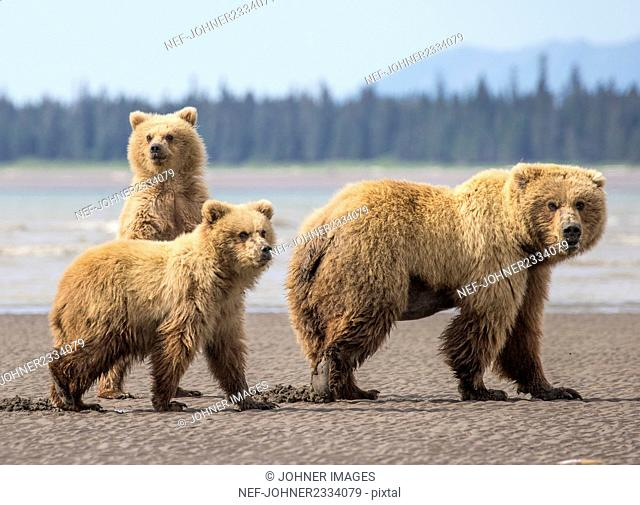 Young bears with mother