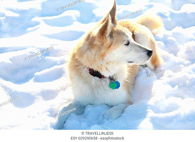 A white and gold mixed breed dog wearing a collar with tags, laying down in the snow