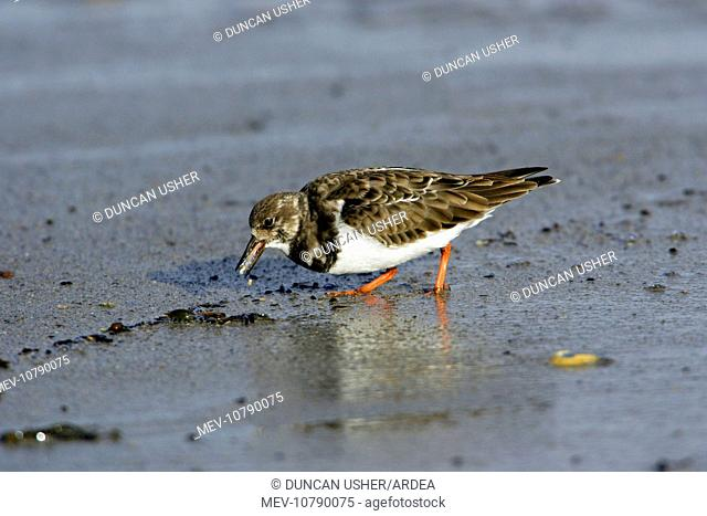 Turnstone - feeding on shore at low tide, autumn. (Arenaria interpres)