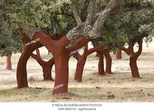 Dehesa de Alcornoques in Extremadura, Spain