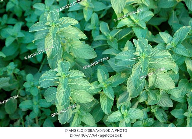 Spices , Health , Medicinal Plant , Herb , Japanese Mint , Mentha Arvensis , Lamiaceae , Green Plant , Cultivation , Aroma Test , Fragrance