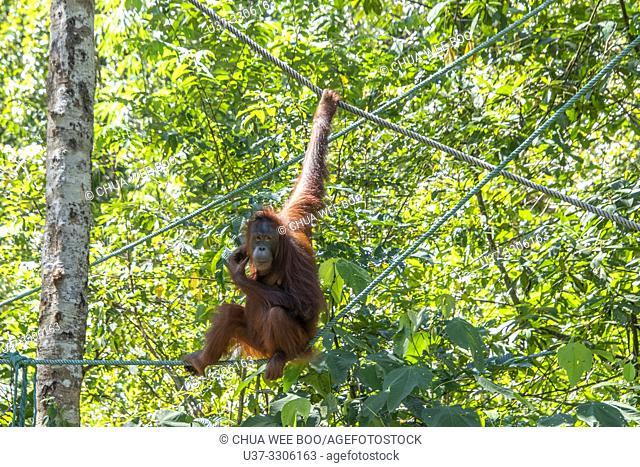 Orangutan (Pongo pygmaeus), Semenggoh Rehabilitation Center, Kota Padawan, Sarawak, Borneo, Malaysia, Southeast Asia, Asia