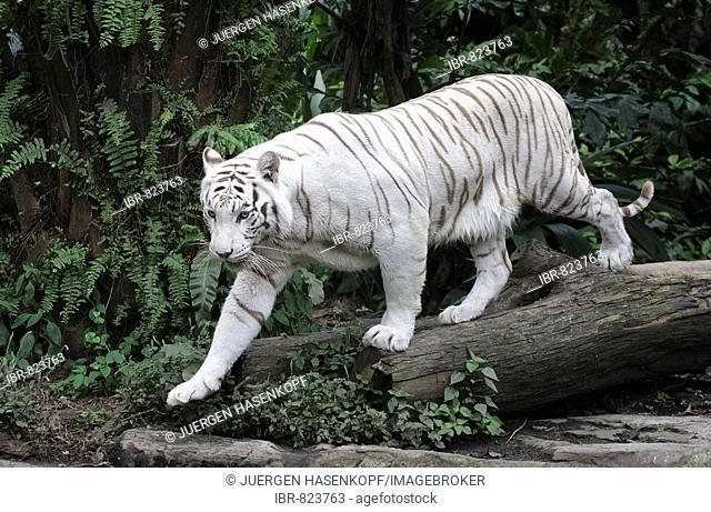White Bengal Tiger (Panthera tigris tigris), Singapore Zoo, Singapore, Asia