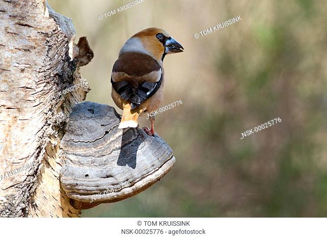 Hawfinch (Coccothraustes coccothraustes) resting on a mushroom, the Netherlands, Overijssel, Lemele, Lemelerberg