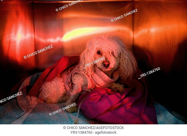 A Poodle dog is warmed using a red lamp as he recovers from an illness at a Pet Hospital in Condesa, Mexico City, Mexico, February 4, 2011