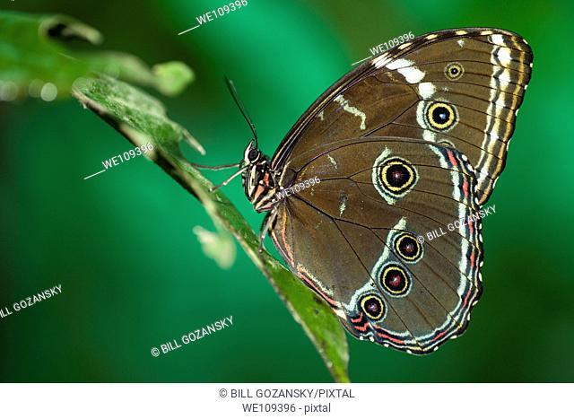Morpho Butterfly Species Captive - La Selva Jungle Lodge, Amazon Region, Ecuador