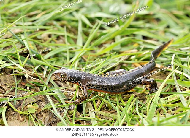 Great crested newt (Triturus cristatus) close up, crawling between grass, Haute Savoie, France