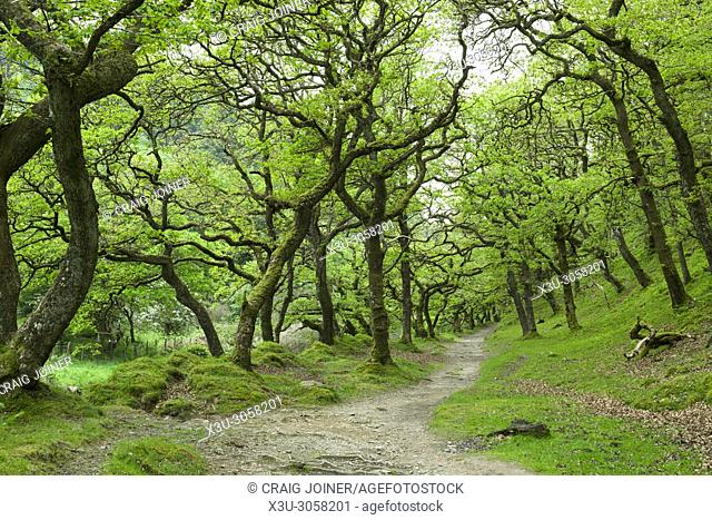 Sessile oak trees in Badgworthy Wood in the Doone Valley near Malmsmead in Exmoor National Park, Devon, England