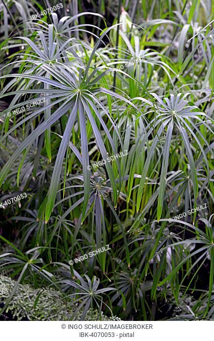 Umbrella Papyrus (Cyperus alternifolius), Africa