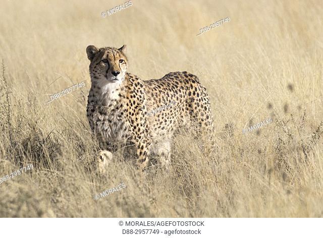 South Africa, Private reserve, Cheetah (Acinonyx jubatus)
