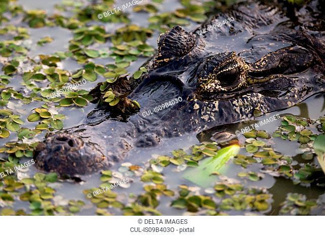 Head shot of yacare caiman (Caiman crocodylus yacare) in wetland waters, Pantanal, Mato Grosso, Brazil
