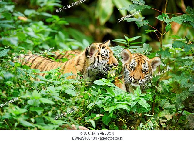 Siberian tiger, Amurian tiger (Panthera tigris altaica), two cups in thicket
