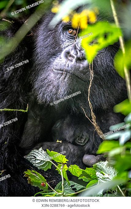 The eyes of a Mountain Gorilla (Gorilla beringei beringei) of the Muhoza group, peak out from behind foliage, in Volcanoes National Park
