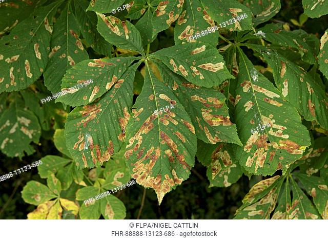 Horse chestnut leat miner, Cameraria ohridella, larval damage to leaves of a conker tree, Berkshire, August