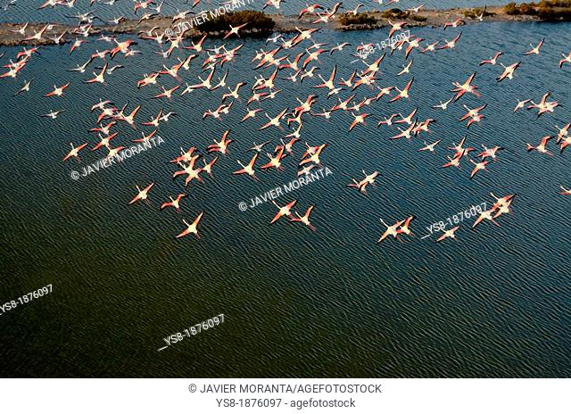 Spain, Balearic Islands, Mallorca, flying Flamingos