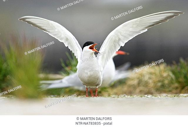 An arctic tern, Norway