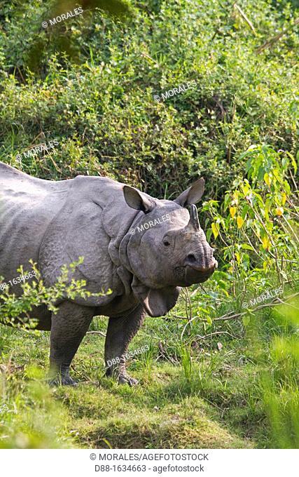 India , State of Assam ,Kaziranga National Park , Asian One-horned rhino or Indian Rhinoceros or Greater One-horned Rhinoceros  Rhinoceros unicornis
