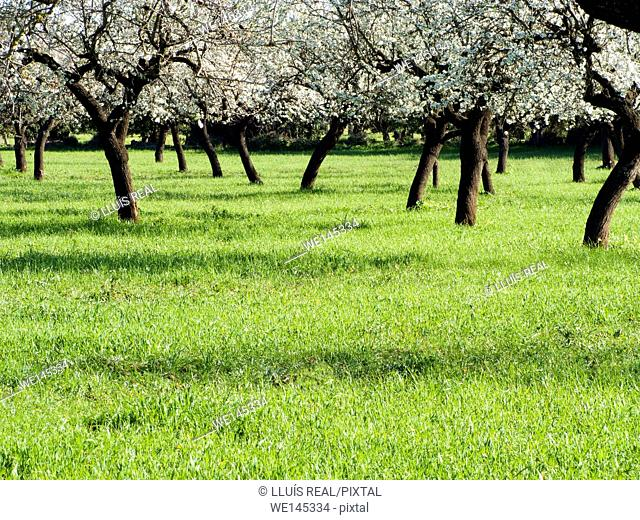 Field of almond trees in blossoms. Winter. Mallorca, Balearic Islands, Spain