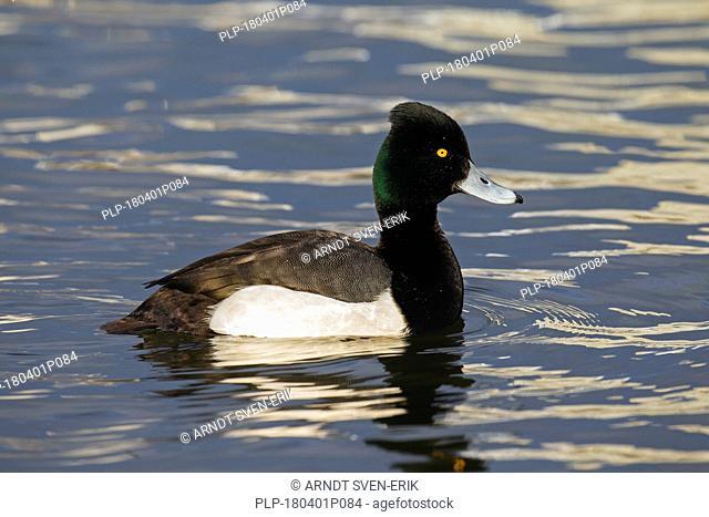 Tufted duck (Aythya fuligula) male swimming in lake