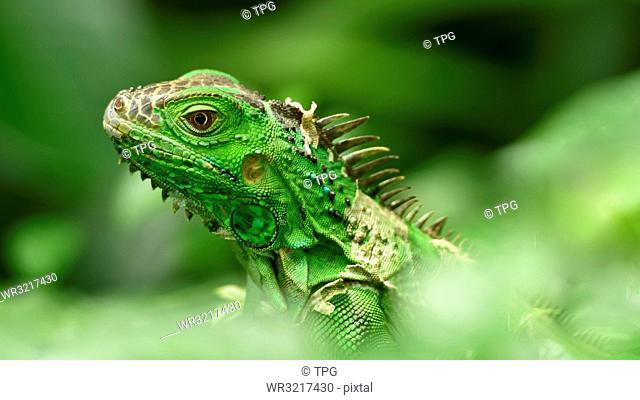Iguana;green;lizard