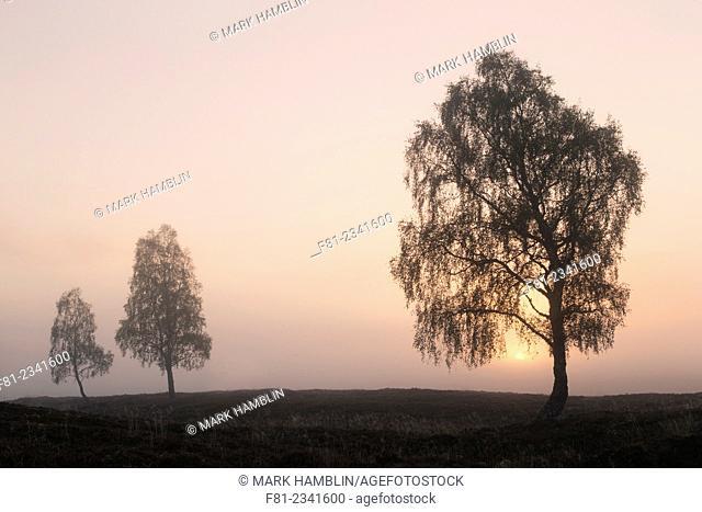 Silver birch (Betula pendula) trees on moorland iat sunrise
