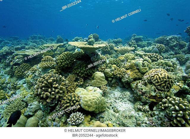Coral reef with mostly hard coral, table coral (Acropora clathrata), robust staghorn corals (Acropora robusta), Maldives, Indian Ocean, Asia